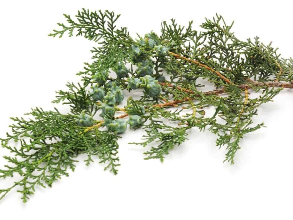 Arborvitae tree branch