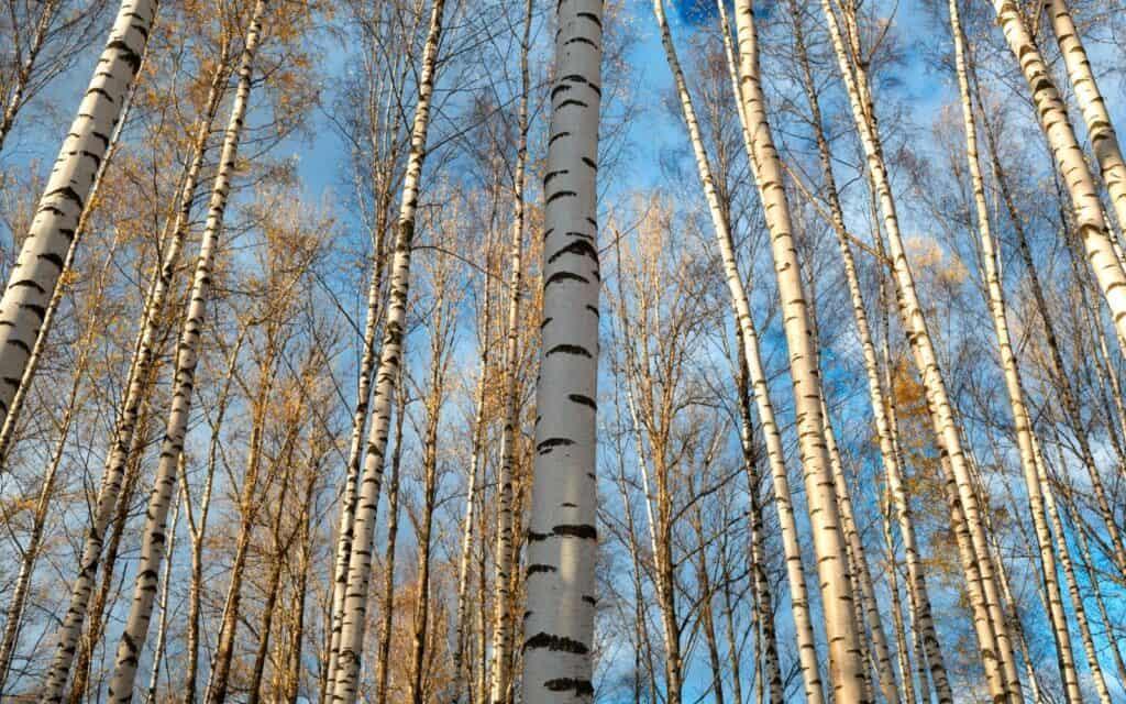 birch trees outside